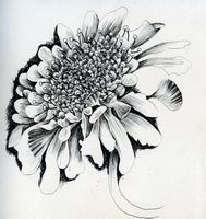 scabious pen and ink flower