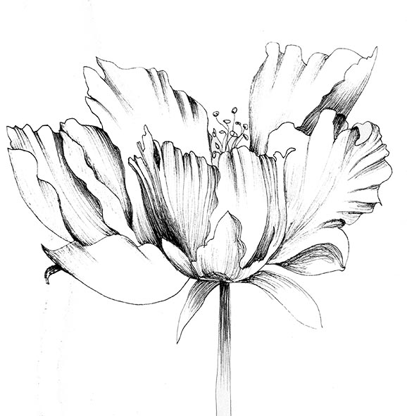 pen and ink flower peony