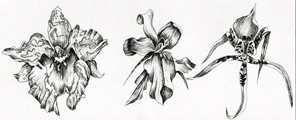 orchids pen and ink