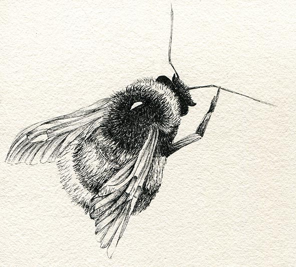 bumble bee drawing insects claire harrison art