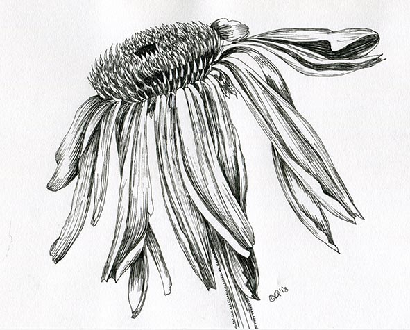 flower drawing Echinacea