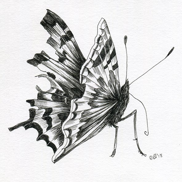 butterfly drawing Comma