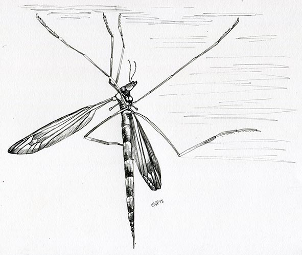 crane fly pen drawing claire harrison art drawing