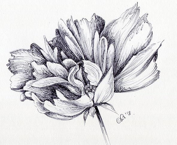 flower drawing ink cosmos