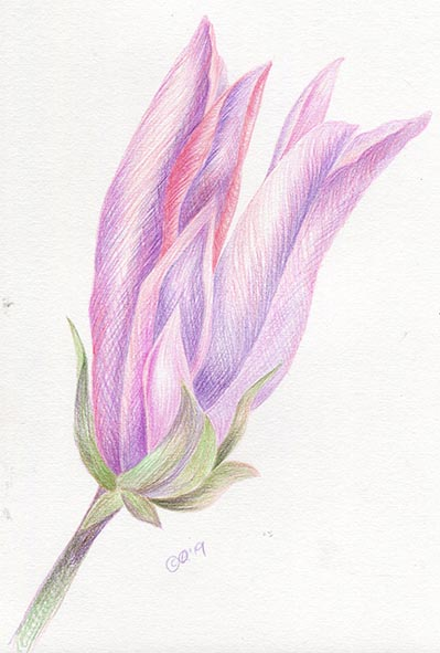 magnolia coloured pencil drawing