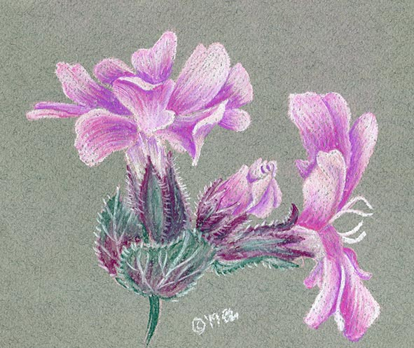 red campion pastel flower drawing