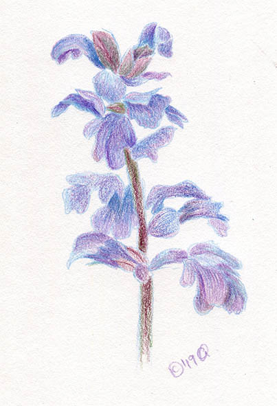 bugle flower drawing