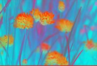 Turquoise and orange chives