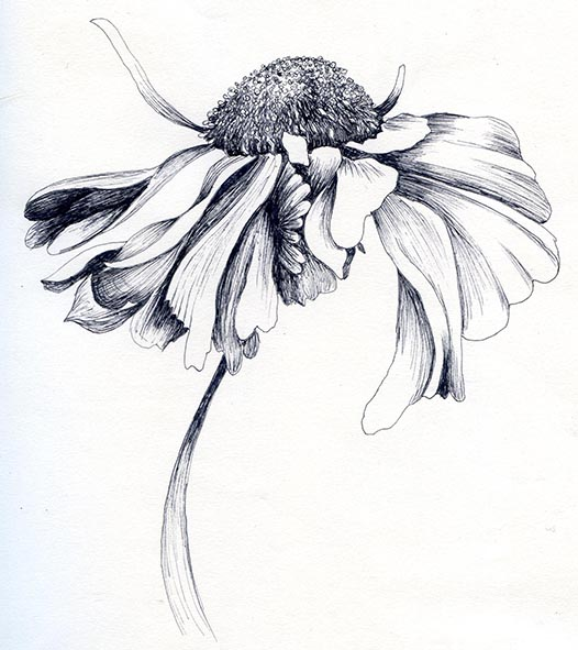 helenium flower pen and ink