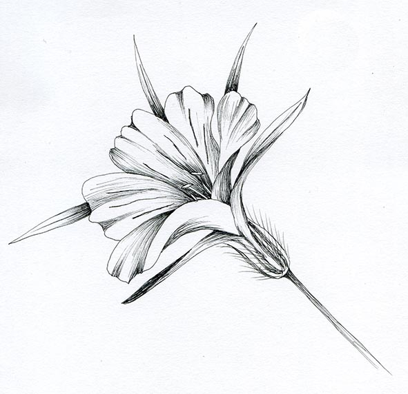 corncockle flower pen and ink