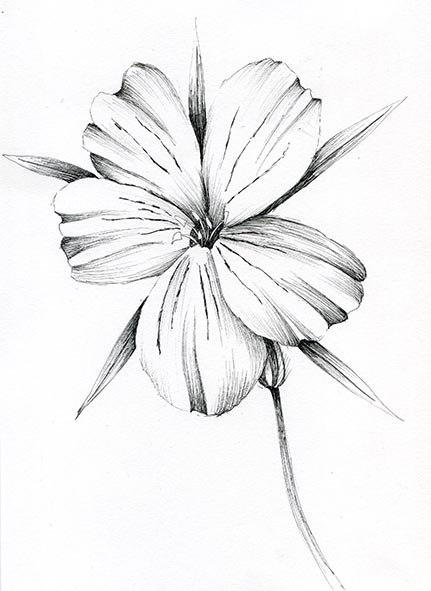 corncockle pen and ink flower
