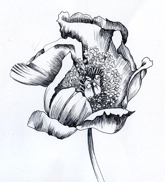 peony pen and ink