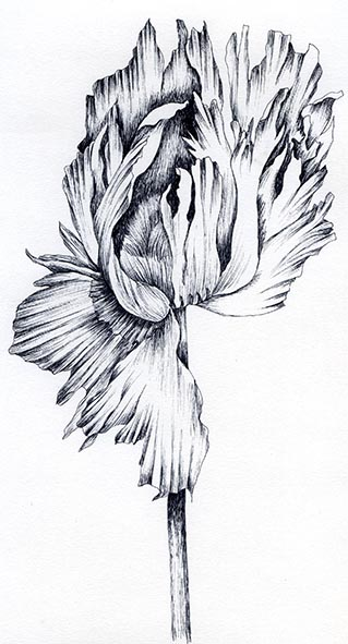 poppy pen and ink